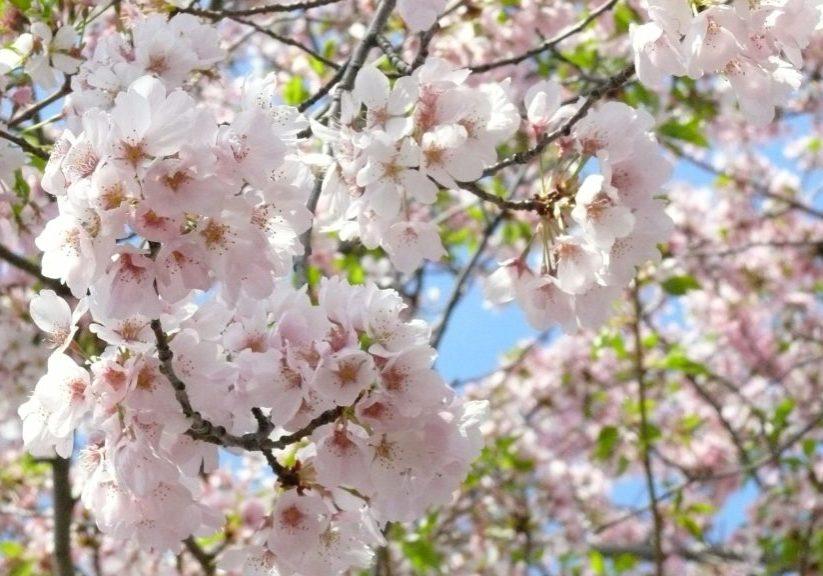 cherry-blossom-706631_1920